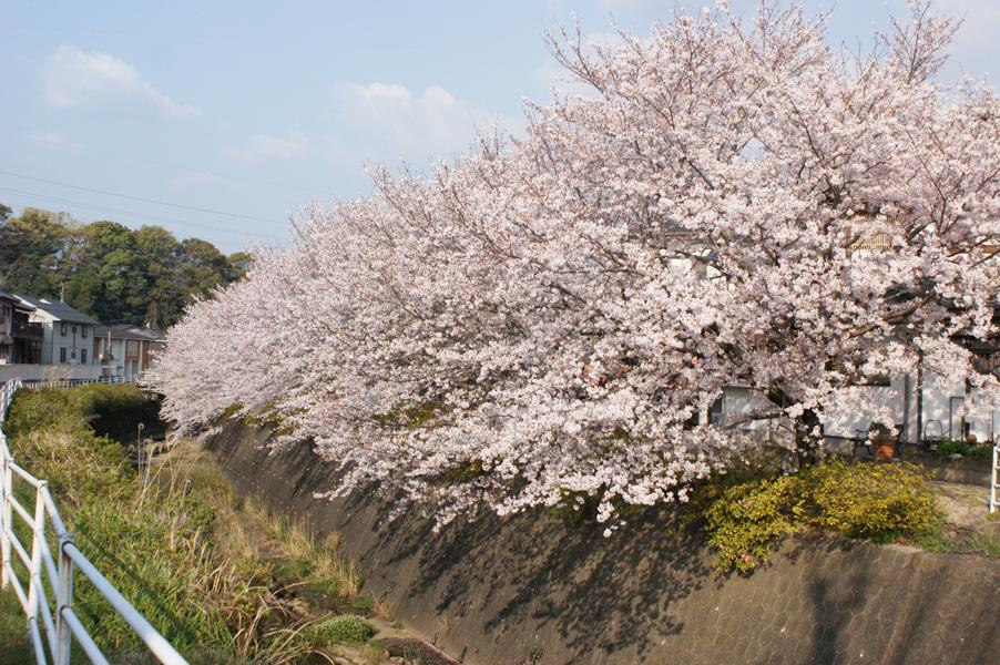 通勤途中に見る桜